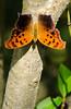 Grabbing Some Rays (briarphotos) Tags: briarphotos nikon nikon18200mm questionmark butterfly