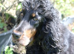Maggie6 (simon.redfern1) Tags: profile gordon setter canine