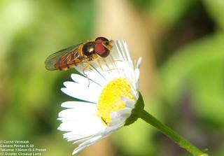 2017-08-19 Hoverfly (Asarkina africana) 6082