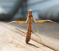 Praying Mantis (swmartz) Tags: praying mantis outdoors nikon nature newjersey wildlife insect dance fight august 2017
