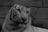 Spica ♂ - In the Still of the Night (Belteshazzar (AKA Harimau Kayu)) Tags: apollo tiger zoo animal bigcat bigcats feline bengaltiger pantheratigristigris königstiger indischertiger eltigredebengala tigredubengale latigrerealedelbengala бенгальскийтигр 孟加拉虎 whitetiger weisertiger tigreblanco tigreblancroyal белыйтигр 孟加拉白虎 zooshot tobu tobuzoo snowwhite mirrormirror babytiger baby kid keddo