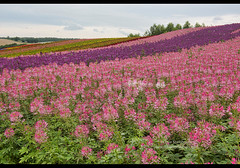 Dazzling spider flowers (Cleome hassleriana) in the fields of Shikisai no Oka, Hokkaido, Japan (jitenshaman) Tags: travel destination worldlocations asia asian japan japanese hokkaido biei bibaushi flowers flower flowerfields flowerfield field fields plants blossom blossoms shikisainooka fourseasonshill tourism colour color colourful colorful tourist tourists tour furano rainbow pattern rows grow agriculture cleomehassleriana spiderflower pinkqueen spiderflowers chassleriana cleomaceae cleome cleomes