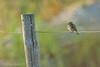 Eurasian Linnet (Carduelis cannabina) (Jeluba) Tags: eurasianlinnet cardueliscannabina oiseau bird aves nature wildlife birdwatching ornithology canon horizontal linottemélodieuse bluthänfling jeluba jeanlucbaron