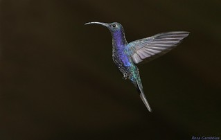Colibrí Morado   Violet Sabrewing (Campylopterus hemileucurus)