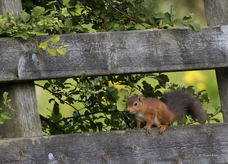 Red Squirrel_MG_6408