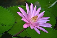 Giant pink water lily has sprung up near our waterfall (jungle mama) Tags: pink waterlily pad gold waterfall stem ngc sunrays5