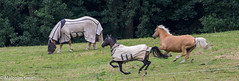Running & Grazing (M C Smith) Tags: horses running grazing rug pentax k3ii field trees grass green fence rugs bushes slope