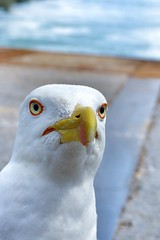 peekabooo                                        Animal selfie 😜 (lucamarasca1) Tags: portrait geo natgeo nationalgeographic details composition background vlux leica nature gull seagull bird birdwatching animal socute cuteanimal selfie