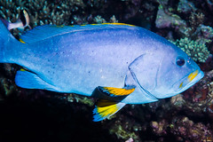 Blue-and-yellow Grouper, subadult - Epinephelus flavocaeruleus