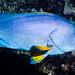 Blue-and-yellow Grouper, subadult - Epinephelus flavocaeruleus
