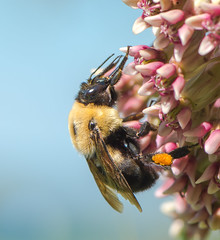 Ins-121.jpg (Bee) (luc_pic) Tags: 105mm d500 pollen hairy bug nature flower garden insect bee closeup macro