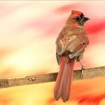 male juvenile cardinal thumbnail