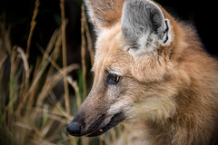 Maned Wolf Profile [In Explore 8/12/17] (helenehoffman) Tags: canid wildlife conservationstatusnearthreatened manedwolf sandiegozoo southamerica mammal nature animal