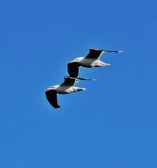 Gannets pair for life, Bempton Cliffs😁💗 (leannehall3) Tags: gannet gannets pair pairs fly wings bempton bemptoncliffs sky blue canon 1300d
