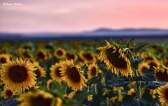 """Anochecer entre girasoles (Explore) (Tomás Martín.) Tags: girasol amarillo flores atardecer inexplore d810 8020028 naturaleza paisaje nikon ngc """"nikonflickraward"""""""