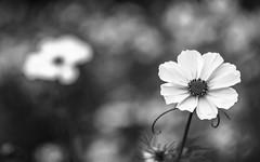 Me And My Shadow (Explored) (Fourteenfoottiger) Tags: mono monochrome blackandwhite bokeh softbokeh manualfocus manual flower garden paper crisp contrast petals smokey abstract explore explored