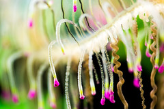 Desire (Thomas Hawk) Tags: america chicago cnidaria cookcounty illinois johngsheddaquarium museumcampuschicago sheddaquarium usa unitedstates unitedstatesofamerica aquarium jellies jellyfish fav10 fav25