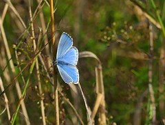 Adonis Blue (Kevin67.) Tags: adonisblue lepidoptera bucks nature meadow chalk