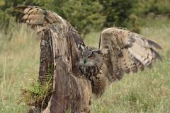 European Eagle Owl (Bubo bubo) (Eastern Davy) Tags: europeaneagleowl birdsofprey bird raptor outdoor worldofwings cumbernauld scotland canon 24105 70d
