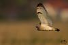Velduil (Marc Nollet) Tags: velduil klemskerke