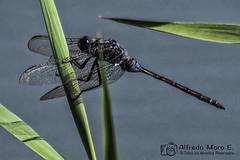 Orthetrum trinacria macho. (Esmerejon) Tags: ejemplardeorthetrumtrinacriamachoselys1841fotografíarealizadaenelhondoalicanteeldía1dejuliode2017 insectos naturaleza libélulas odonatos