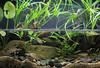 IMG_9817 (Laurent Lebois ©) Tags: laurentlebois france reptile rettile reptil рептилия tortue turtle tortoise tortuga tartaruga schildkröte черепаха chelonia sternotherus minor terrariophilie razorbackmuskturtle cinosterne installations aquarium aquaterrarium paludarium vivarium