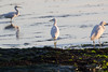 IMG_2600 (armadil) Tags: mavericks beach beaches californiabeaches bird birds egret snowyegret lowtide