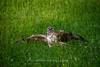 Junger Bussard , NGIDn2022497925 (naturgucker.de) Tags: ngidn2022497925 naturguckerde mäusebussardbuteobuteo badhomburg cthomasschwartz
