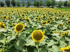 파일_000 (2) (Daegeon Shin) Tags: iphone i6s cellphone sunflower girasol campo field flower flor 아이폰 휴대폰 해바라기 밭 꽃 corea korea 경남 합천