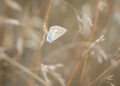 hiding place (Emma Varley) Tags: butterfley commonblue grasses warm nature sullingtonwarren westsussex brown blue white orange spots wings