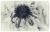 Dead coneflower (Barbara Coughlin) Tags: autumn coneflower flower dead dry bw lensbaby velvet85