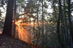 Forest Sunset|Skyline Blvd, San Mateo, California (miltonsun) Tags: forest sunset skylineblvd sanmateo california sunsetrays mist lastlight fog foginsf dusk nature outdoor summer