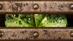 Rust and ivy for #Rust#MacroMondays (M Chiara B) Tags: elements rust ivy macromondays metal ruggine edera macrofotografia