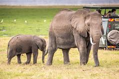 DSC_6173 (stacyjohnmack) Tags: africa kenya amboseli amboselinationalpark amboselli baby elephant safari