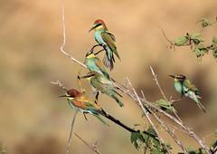 Guêpiers d'Europe (m-idre31 - 6 millions de vues merci) Tags: bird aves espagne hautaragon loarre guêpierdeurope