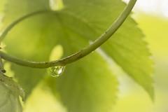 One  (of my favorite things) (Karl's Gal) Tags: minimalism dewdrop vine hops leaf karlsgal macro droplet