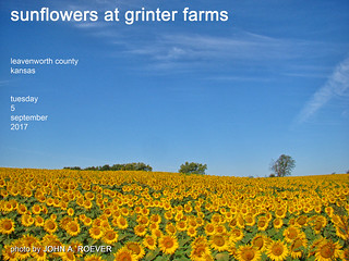 Sunflowers at Grinter Farms, 5 Sept 2017
