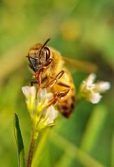 Uma das macros mais legais que já fiz de abelhas (Paulo Mattes) Tags: bees bee bealtiful mata macro flowers flower flor flores abelhas abelha brazil brasil closeup close natgeo naturelovers natureza nature