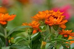 (Kelley&Kelley) Tags: florida flowers flower garden orange outdoors nature nikon nikond7200