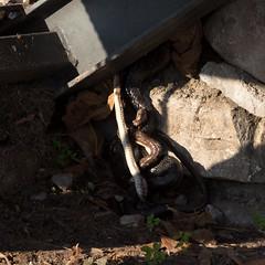 Snake regurgitating another snake | Varenna evening-7 (Paul Dykes) Tags: varenna lombardy lombardia italy italia lakecomo lagodicomo eveninglight evening snake viper regurgitation it
