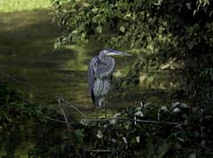 Perching Heron (dzmears) Tags: bird heron blue green landscape water tree trees leaves animal wildlife