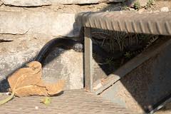 Fleeing snake | Varenna evening-8 (Paul Dykes) Tags: varenna lombardy lombardia italy italia lakecomo lagodicomo eveninglight evening snake viper regurgitation it