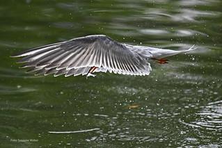 Tern with Fish - Seeschwalbe mit Fisch