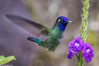 Violet-headed Hummingbird (Klais guimeti), Costa Rica