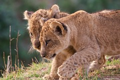 IMGP6441 Give me space ! (Claudio e Lucia Images around the world) Tags: lions lion cub pup puppy southluangwa zambia bushcamp sigma