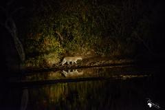 2017_Sudafrica_0161 (nasasa) Tags: bigfive gamedrive safari nightgamedeive krugerparco wildlife wildanimals leopard leopsrd leopardo