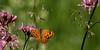 Lasiommata megera_Mégère sur Lychnis_ (nicéphor) Tags: canon eos7d tamron150600mm faune nature papillon rhopalocères mariposa butterflies