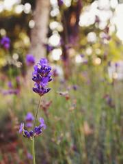 Late Summer lavender (AMoska) Tags: natureza nature flora flores flowers lavanda lavender parque park passionflower quintaflower