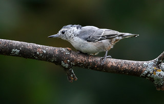 Tattered Nuthatch