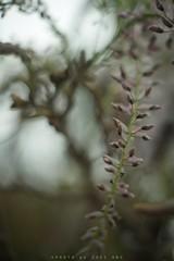 DSC05975 wisteria floribunda (Sugi Ong) Tags: makro closeup vintage prime 55mm garden parks outdoor sony a7s helicoid wisteria floribunda xfujinon handheld